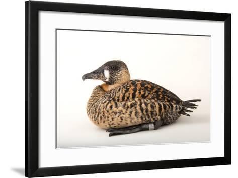 A White Backed Duck, Thalassornis Leuconotus, at Sylvan Heights Bird Park-Joel Sartore-Framed Art Print