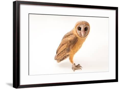 An Ashy Faced Owl, Tyto Glaucops, at Parque Zoologico Nacional-Joel Sartore-Framed Art Print