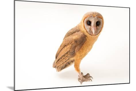 An Ashy Faced Owl, Tyto Glaucops, at Parque Zoologico Nacional-Joel Sartore-Mounted Photographic Print