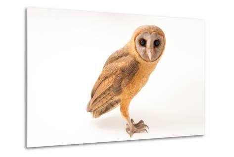 An Ashy Faced Owl, Tyto Glaucops, at Parque Zoologico Nacional-Joel Sartore-Metal Print