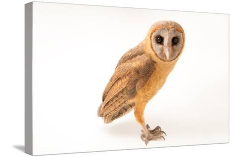 An Ashy Faced Owl, Tyto Glaucops, at Parque Zoologico Nacional-Joel Sartore-Stretched Canvas Print