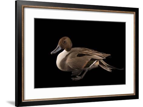 A Male Northern Pintail Duck, Anas Acuta, at the Sylvan Heights Bird Park-Joel Sartore-Framed Art Print