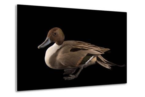 A Male Northern Pintail Duck, Anas Acuta, at the Sylvan Heights Bird Park-Joel Sartore-Metal Print