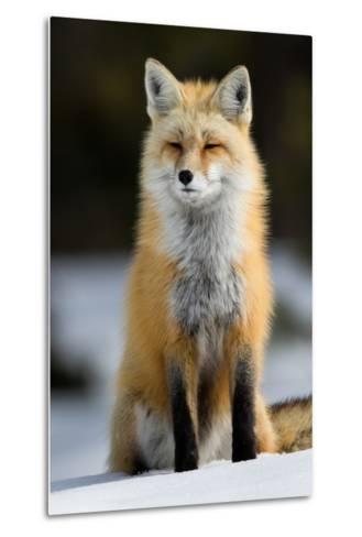 A Red Fox in Grand Teton National Park-Charlie James-Metal Print