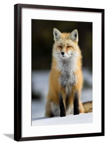 A Red Fox in Grand Teton National Park-Charlie James-Framed Art Print