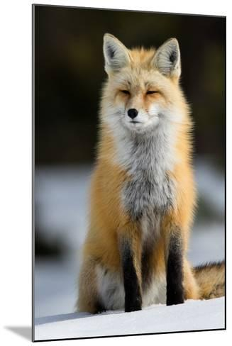 A Red Fox in Grand Teton National Park-Charlie James-Mounted Photographic Print