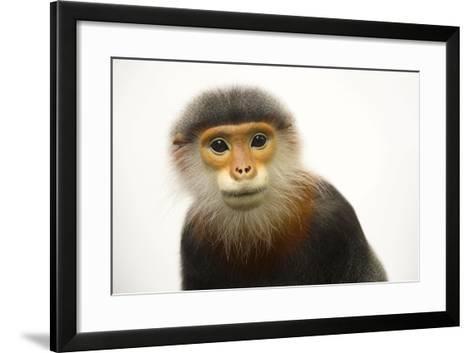A Male, Critically Endangered Grey Shanked Douc Langur, Pygathrix Cinerea-Joel Sartore-Framed Art Print