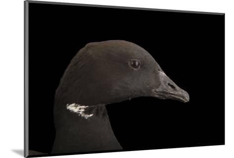 A Brent Goose, Branta Bernicla, at Sylvan Heights Bird Park-Joel Sartore-Mounted Photographic Print