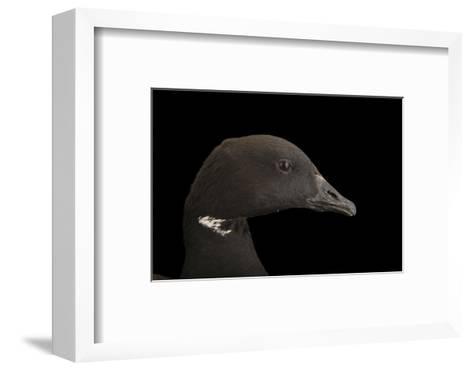A Brent Goose, Branta Bernicla, at Sylvan Heights Bird Park-Joel Sartore-Framed Art Print