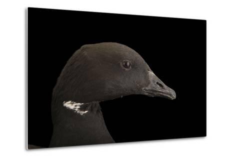A Brent Goose, Branta Bernicla, at Sylvan Heights Bird Park-Joel Sartore-Metal Print
