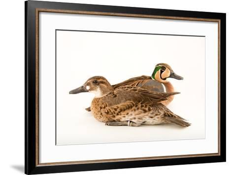 Two Baikal Teal, Anas Formosa, at Sylvan Heights Bird Park-Joel Sartore-Framed Art Print