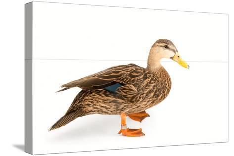 A Florida Duck, Anas Fulvigula, at Sylvan Heights Bird Park-Joel Sartore-Stretched Canvas Print