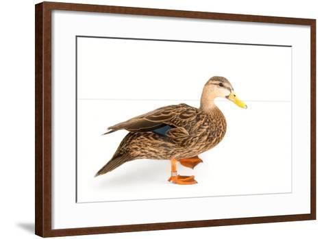 A Florida Duck, Anas Fulvigula, at Sylvan Heights Bird Park-Joel Sartore-Framed Art Print