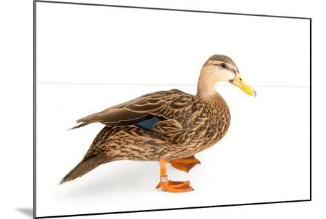 A Florida Duck, Anas Fulvigula, at Sylvan Heights Bird Park-Joel Sartore-Mounted Photographic Print