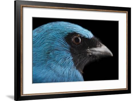 A Male Swallow Tanager, Tersina Viridis, at the Houston Zoo-Joel Sartore-Framed Art Print