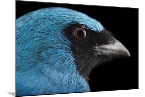 A Male Swallow Tanager, Tersina Viridis, at the Houston Zoo-Joel Sartore-Mounted Photographic Print