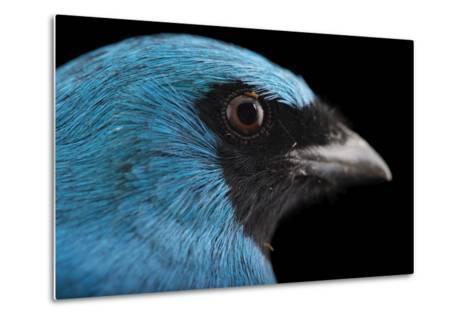 A Male Swallow Tanager, Tersina Viridis, at the Houston Zoo-Joel Sartore-Metal Print
