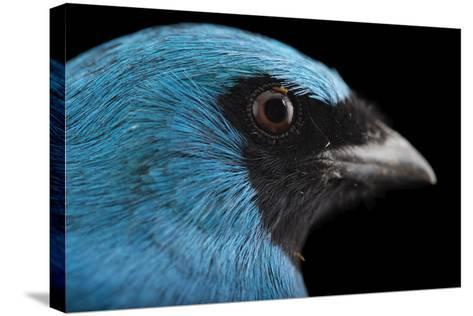 A Male Swallow Tanager, Tersina Viridis, at the Houston Zoo-Joel Sartore-Stretched Canvas Print