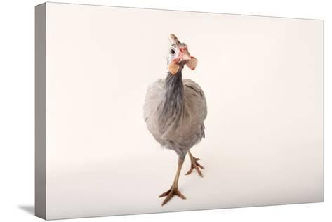 A Helmeted Guineafowl, Numida Meleagris, at the Cleveland Metroparks Zoo-Joel Sartore-Stretched Canvas Print