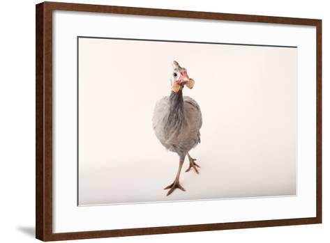A Helmeted Guineafowl, Numida Meleagris, at the Cleveland Metroparks Zoo-Joel Sartore-Framed Art Print