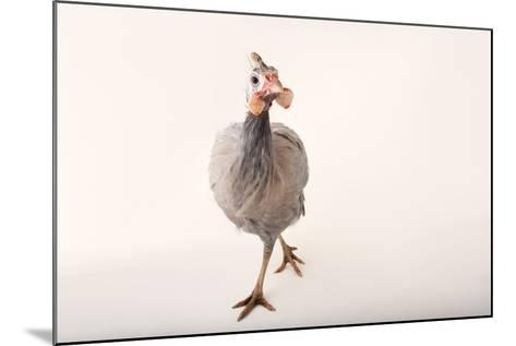 A Helmeted Guineafowl, Numida Meleagris, at the Cleveland Metroparks Zoo-Joel Sartore-Mounted Photographic Print