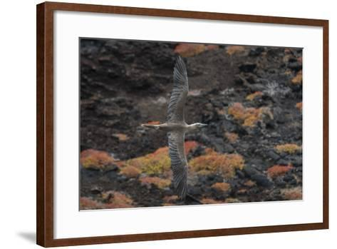 A Red-Footed Booby in Flight over Red Sesuvium at Punta Pitt, San Cristobal Island-Jeff Mauritzen-Framed Art Print