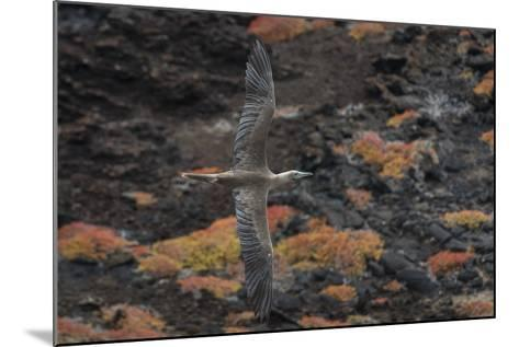 A Red-Footed Booby in Flight over Red Sesuvium at Punta Pitt, San Cristobal Island-Jeff Mauritzen-Mounted Photographic Print