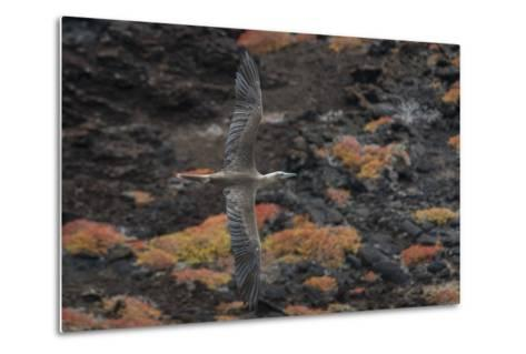 A Red-Footed Booby in Flight over Red Sesuvium at Punta Pitt, San Cristobal Island-Jeff Mauritzen-Metal Print
