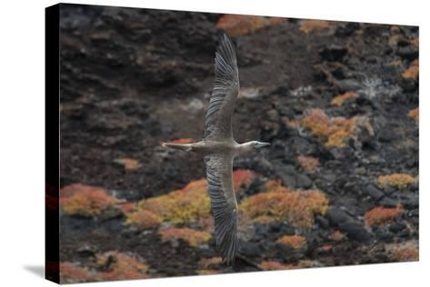 A Red-Footed Booby in Flight over Red Sesuvium at Punta Pitt, San Cristobal Island-Jeff Mauritzen-Stretched Canvas Print