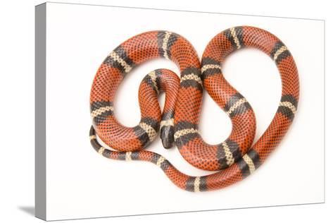 A Conant's Milk Snake, Lampropeltis Triangulum Conanti, at Pet Paradise-Joel Sartore-Stretched Canvas Print