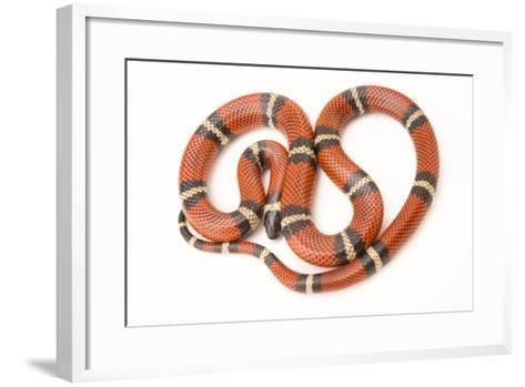 A Conant's Milk Snake, Lampropeltis Triangulum Conanti, at Pet Paradise-Joel Sartore-Framed Art Print
