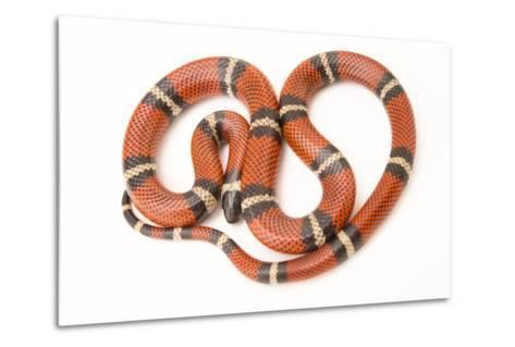 A Conant's Milk Snake, Lampropeltis Triangulum Conanti, at Pet Paradise-Joel Sartore-Metal Print