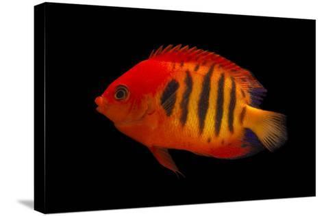 A Flame Angelfish, Centropyge Loricula, at Pure Aquariums-Joel Sartore-Stretched Canvas Print