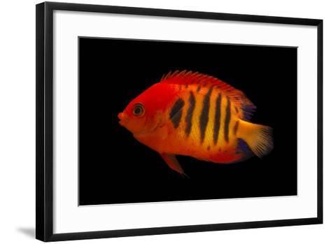 A Flame Angelfish, Centropyge Loricula, at Pure Aquariums-Joel Sartore-Framed Art Print
