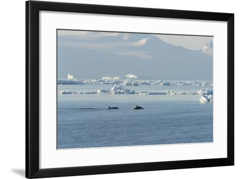 Killer Whales Swimming in Antarctic Sound and the Weddell Sea Near Antarctica-Jeff Mauritzen-Framed Art Print