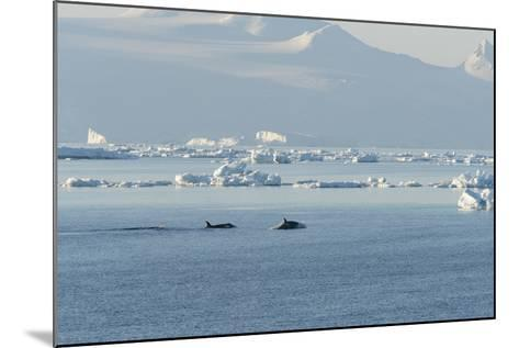 Killer Whales Swimming in Antarctic Sound and the Weddell Sea Near Antarctica-Jeff Mauritzen-Mounted Photographic Print
