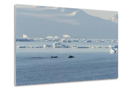 Killer Whales Swimming in Antarctic Sound and the Weddell Sea Near Antarctica-Jeff Mauritzen-Metal Print
