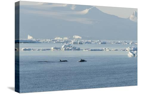 Killer Whales Swimming in Antarctic Sound and the Weddell Sea Near Antarctica-Jeff Mauritzen-Stretched Canvas Print