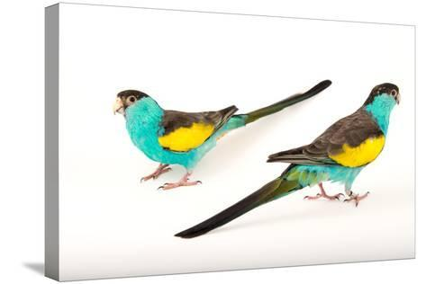 Two Hooded Parakeets, Psephotus Dissimilis, at Sylvan Heights Bird Park-Joel Sartore-Stretched Canvas Print