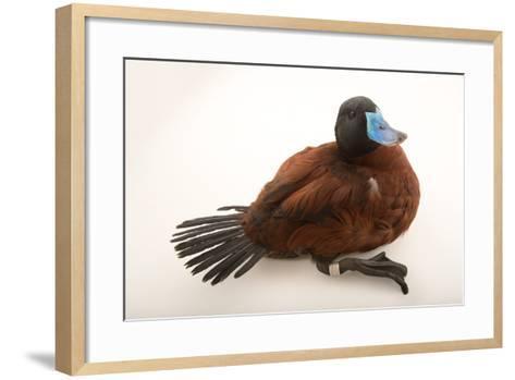A Lake Duck, Oxyura Vittata, at Sylvan Heights Bird Park-Joel Sartore-Framed Art Print