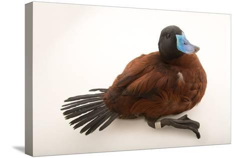 A Lake Duck, Oxyura Vittata, at Sylvan Heights Bird Park-Joel Sartore-Stretched Canvas Print