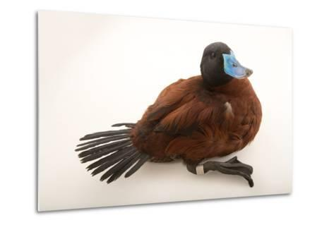 A Lake Duck, Oxyura Vittata, at Sylvan Heights Bird Park-Joel Sartore-Metal Print