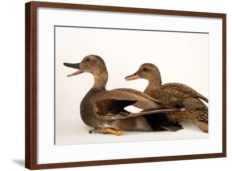 A Male and Female Gadwall, Anas Strepera, at Sylvan Heights Bird Park-Joel Sartore-Framed Art Print
