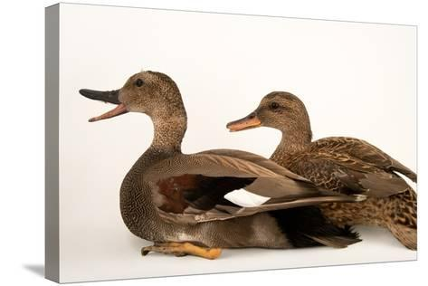 A Male and Female Gadwall, Anas Strepera, at Sylvan Heights Bird Park-Joel Sartore-Stretched Canvas Print