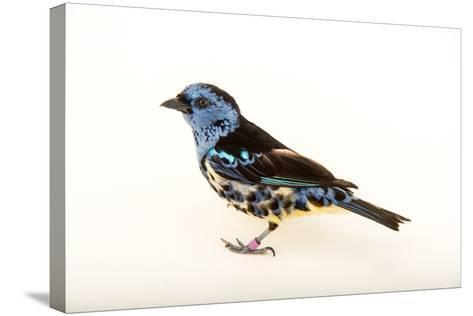 A Turquoise Tanager, Tangara Mexicana, at Tracy Aviary-Joel Sartore-Stretched Canvas Print