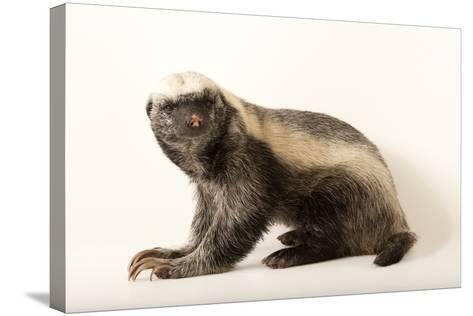 A Honey Badger, Mellivora Capensis, at the Fort Wayne Children's Zoo-Joel Sartore-Stretched Canvas Print
