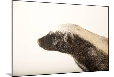 A Honey Badger, Mellivora Capensis, at the Fort Wayne Children's Zoo-Joel Sartore-Mounted Photographic Print