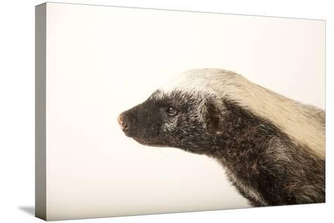 A Honey Badger, Mellivora Capensis, at the Fort Wayne Children's Zoo-Joel Sartore-Stretched Canvas Print