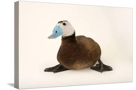 A White Headed Duck, Oxyura Leucocephala, at Sylvan Heights Bird Park-Joel Sartore-Stretched Canvas Print