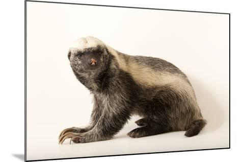 A Honey Badger, Mellivora Capensis, at the Fort Wayne Children's Zoo-Joel Sartore-Mounted Photographic Print